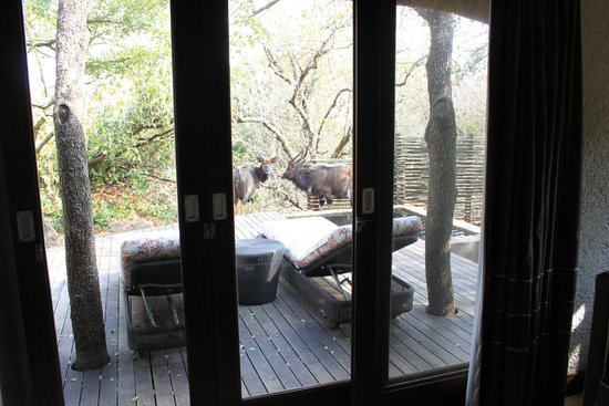 andBeyond Phinda Mountain Lodge: Nyala drinking from the plunge pool