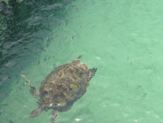 Centro Ecologico Akumal: Akumal, Mexico - tortuga marina