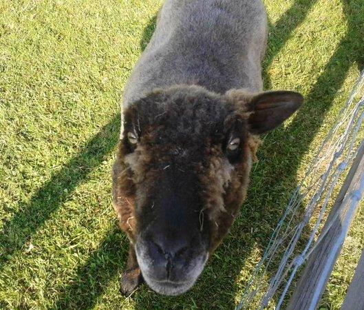Horsemanstone: One eared sheep