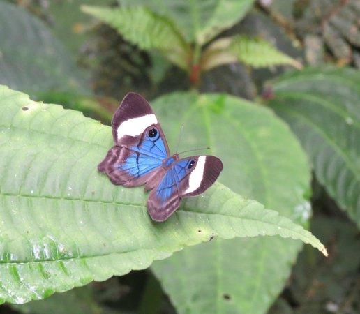 El Quetzal de Mindo : butterfly at the Reserve