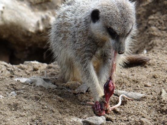 Newquay Zoo: Meercat having lunch