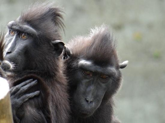 Newquay Zoo: macaques having a hug