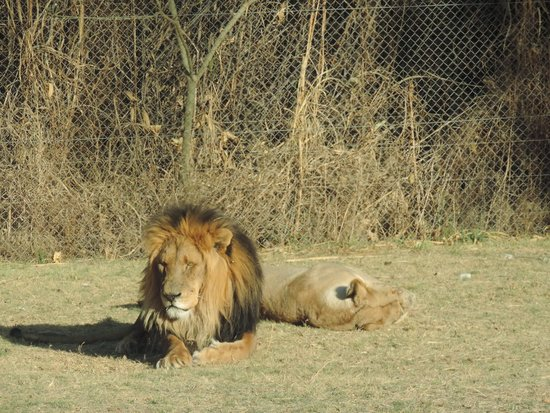 Big Six Tour Safaris: Lion Park