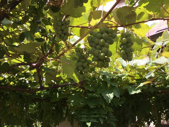 Montespertoli, Italia: Grape arbor above entrance