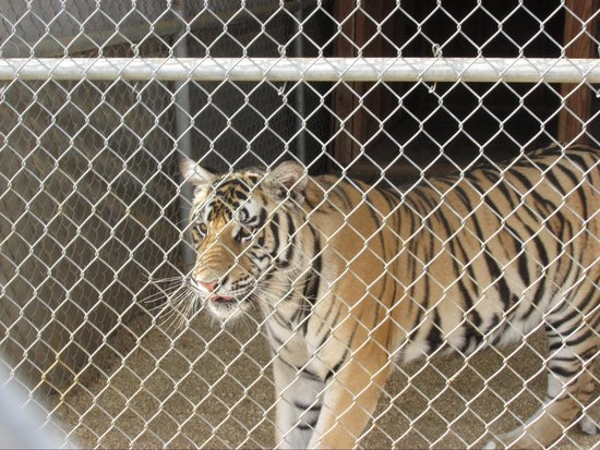 The Barry R. Kirshner Wildlife Foundation: Tiger