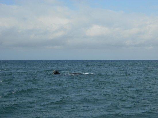 Dyer Island Cruises: Whale