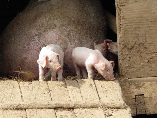 Pig Pen at Trevaskis Farm