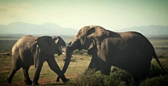 Garden Route Game Lodge: Ellies Playing