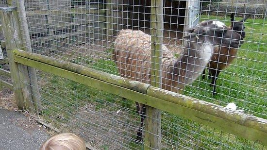 Emsley's Farm Shop: Llamas or Alpacas