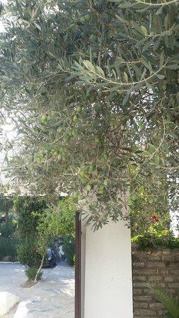 Ece Hotel Bodrum: Bahçesinde zeytin, limon ve mandalina ağaçları var.