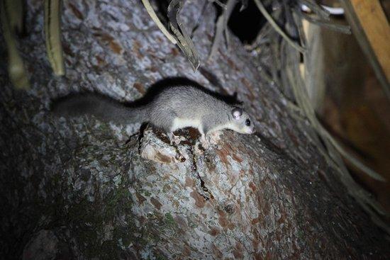 Les Cabanes du Varon: Le loir, petit mammifère nocturne près de la Cigaline