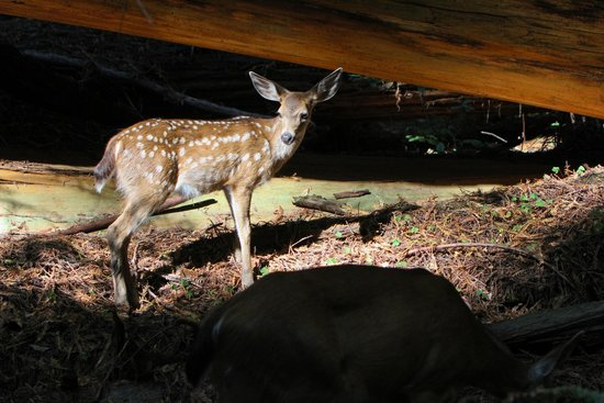 Ravenwood Motel: redwoods fawn