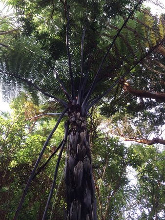 Glanleam House & Subtropical Gardens : A rare New Zealand Black Tree Fern.