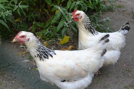 La Grange aux Herbes : les petites poules dans le potager