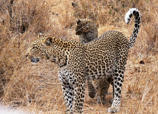 Umlani Bushcamp: Leopard with cubs