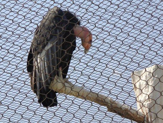 World Center For Birds of Prey : California Condor