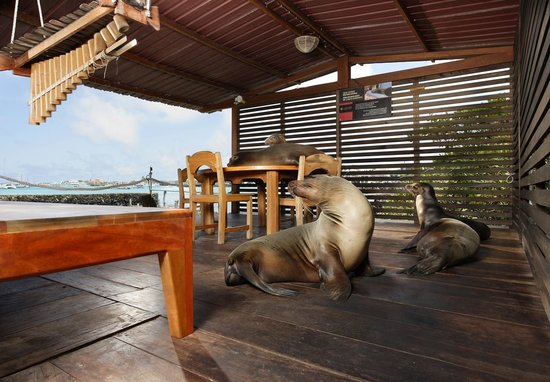 Red Mangrove: Sea Lions at our Ocean View Restaurant. Aventura Lodge.