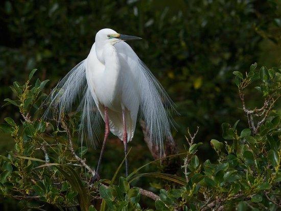 White Heron Sanctuary Tours: White Heron with Breeding plumage
