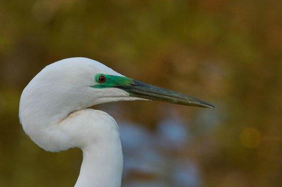 White Heron Sanctuary Tours: White Heron Head detail with Breeding colours