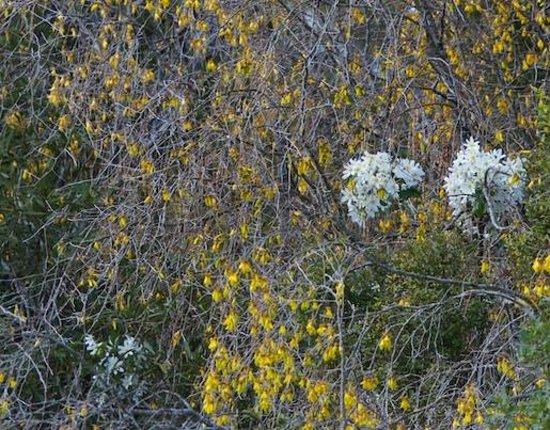 White Heron Sanctuary Tours: Kowhai and Clemitis in bloom