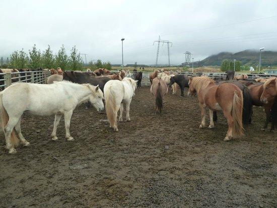 Eldhestar Private Day Tours: les chevaux
