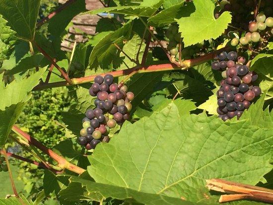 Three Choirs Vineyards: Vines growing around our patio