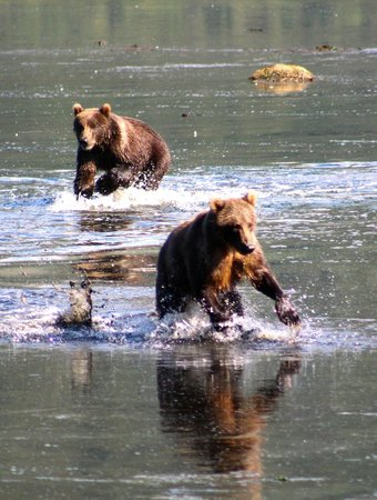 Munsey's Bear Camp: Bears playing in the shallow water.