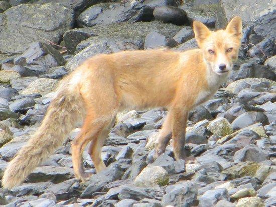 Munsey's Bear Camp: Friendly Fox