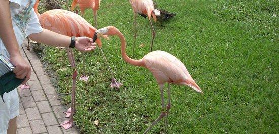 Sarasota Jungle Gardens: Flamingo Encounter