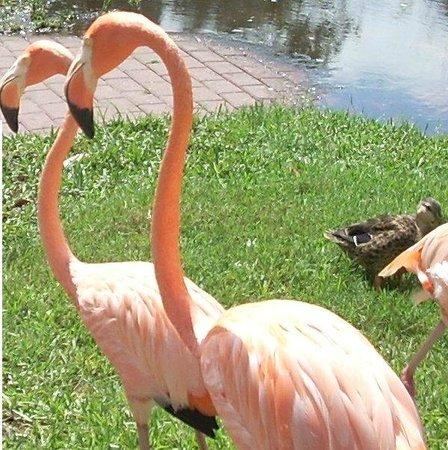 Sarasota Jungle Gardens: Flamingos