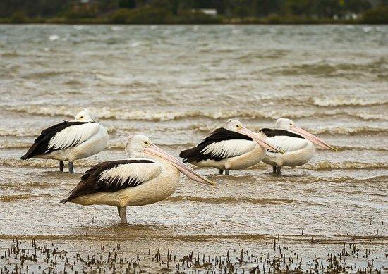 BIG4 Koala Shores Port Stephens Holiday Park : Pelicans near the jetty