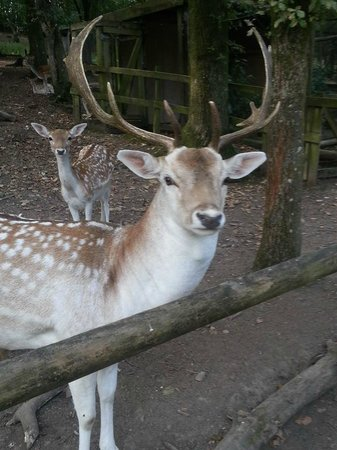 Tamar Otter and Wildlife Centre: stag