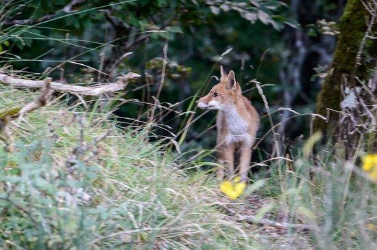 Locanda dei Baroni: a fox prowls the forest near the hotel