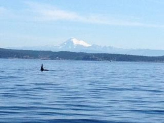 Western Prince Whale Watching : Orca and Mount Baker