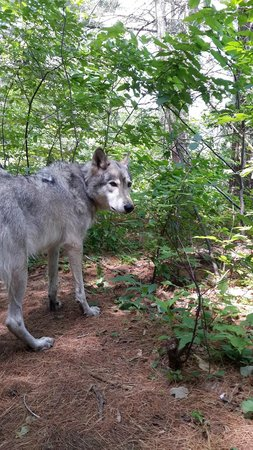 Adirondack Wildlife Refuge: Cree - the alpha wolf