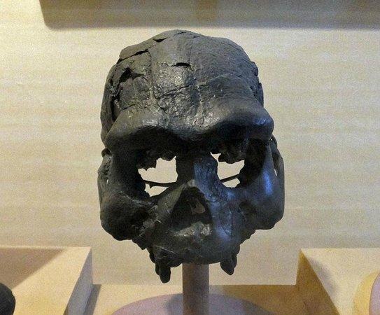 Sonobudoyo Museum: ジャワ原人