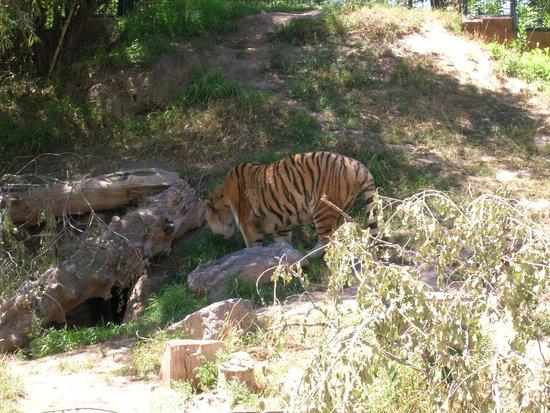 Idaho Falls Zoo at Tautphaus Park : Tiger