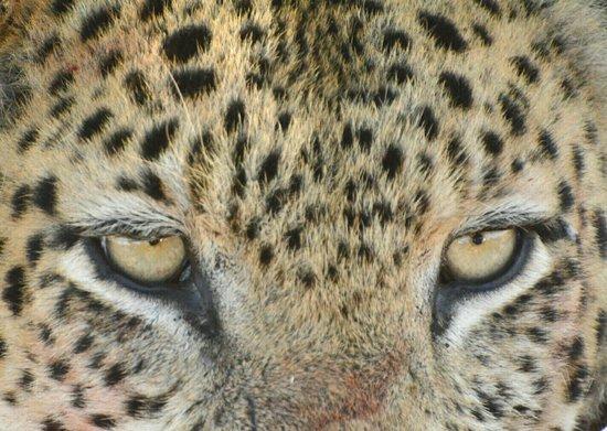 Shinde leopard