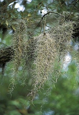 Carolina Beach State Park: Some of the Spanish Moss that drapes the oak trees throughout the park.