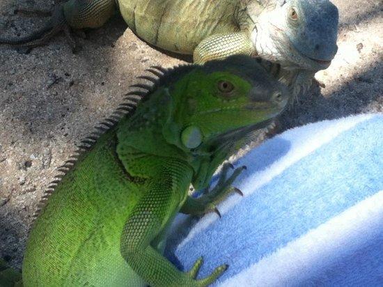 Oyster Pond, Isla de San Martín: Iguanas