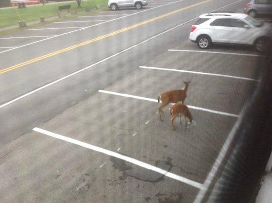 Clark's Beach Motel: Deer in parking lot