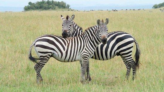 Masai Mara National Reserve, Kenya: シマウマ