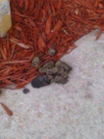 La Quinta Inn & Suites Orlando Convention Center: poop pile