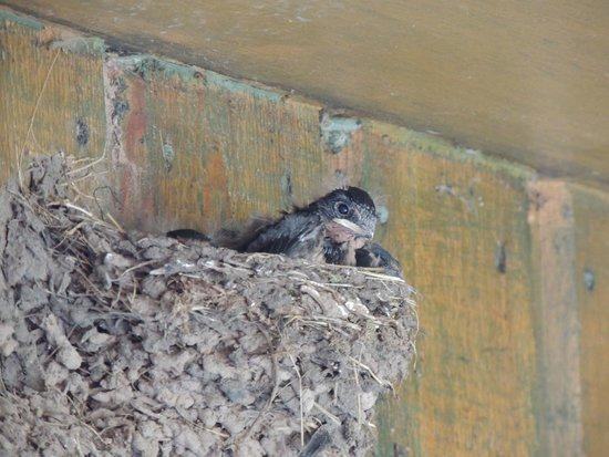Swallows at Cafe Beag September 2014