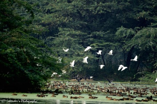Sultanpur National Park Bird Sanctuary: Birds flying over water body