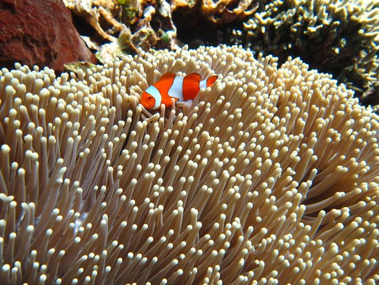 Пемутеран, Индонезия: We found Nemo