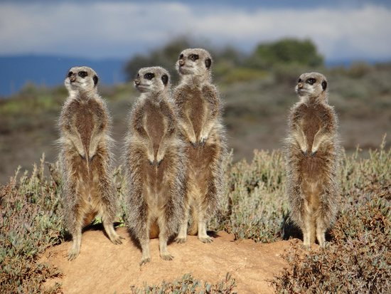 De Zeekoe Guest Farm : You must do the meerkat tour!