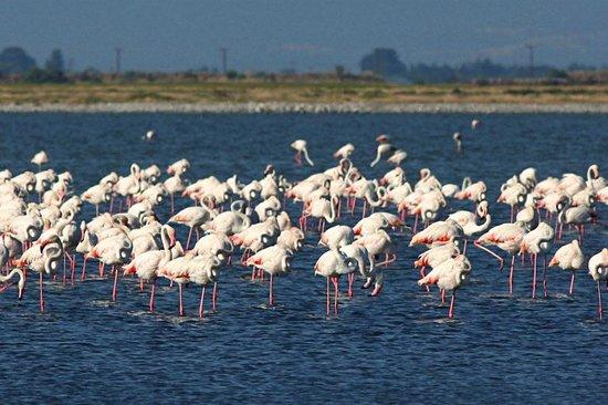 Hotel Dias: Greater Flamingos at Kitros saltpan (10m drive from hotel)