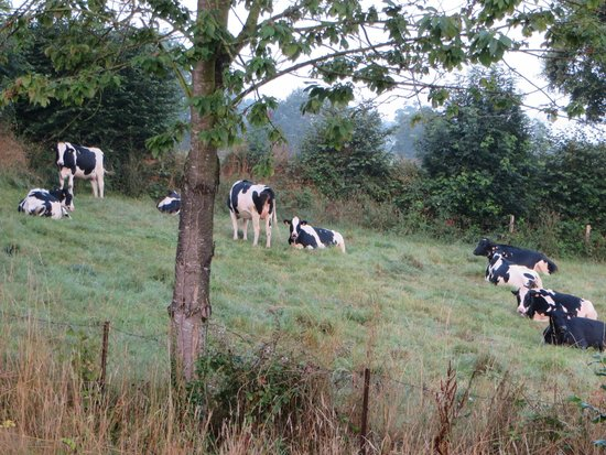 La Thiaumerie : Cows in the morning!