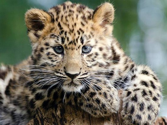 Winchester, UK: Kanika the Amur leopard cub by Rob Franklin